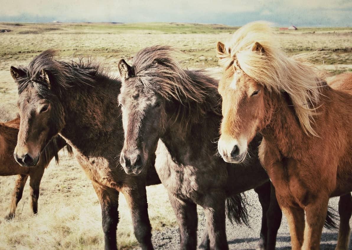 hennep cbd olie voor paarden